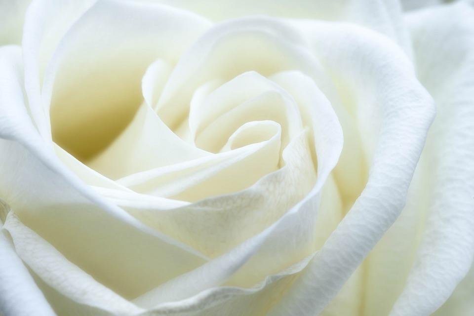 Rosa Branca - Simpatias para Atrair o Amor