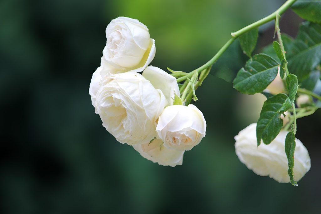 Simpatia da Rosa Branca para melhorar o autoestima