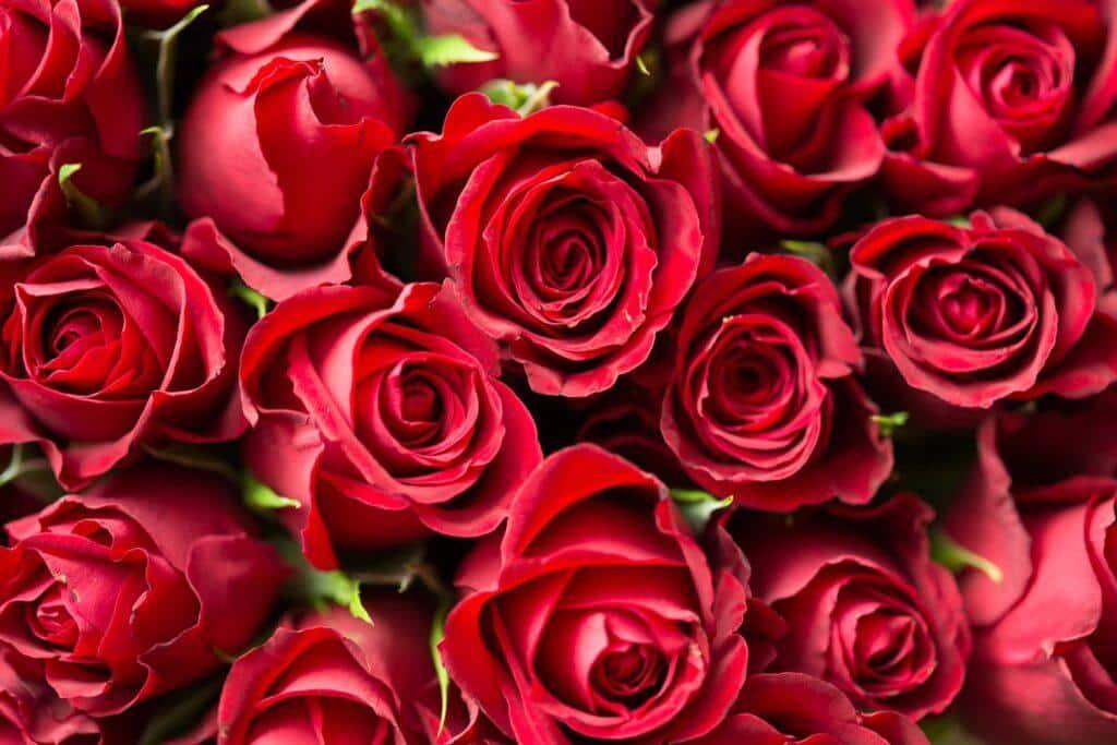 Simpatia com rosas vermelhas para sentir prazer